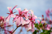 Rose geranium — Foto de Stock