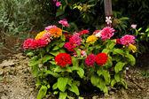 Zinnas in The Garden — Stock Photo