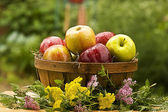 Country Basket of Apples — Stock Photo