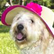Stylish Golden Doodle — Stock Photo