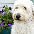 Shaggy White Dog — Stock Photo