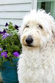 Shaggy White Dog — Stock Photo