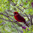 Small red cardinal sitting on branch — Stock Photo
