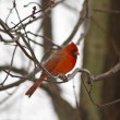 Stock Photo: Small red cardinal