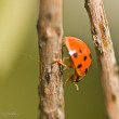 Crawling Lady Bugs — Stock Photo
