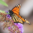 Butterflies on bush — Stock Photo