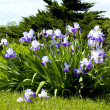 Large Purple Iris' — Stock Photo