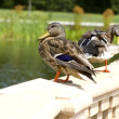 Busy Ducks — Stock Photo