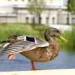 Single Duck in Park — Stock Photo