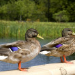 Stock Photo: Two Ducks Standing