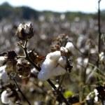 Cotton Fields — Stock Photo