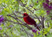 Cardeal vermelho pequeno, sentado no galho — Foto Stock