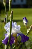 Large Purple Iris' — Stock Photo