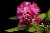 Beautiful rhododendrons on Black — Stock Photo