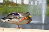 Duck Enjoying Water Sprays — Stock Photo