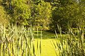 Country Algae Pond — Stock Photo
