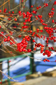 Bayas de invierno — Foto de Stock