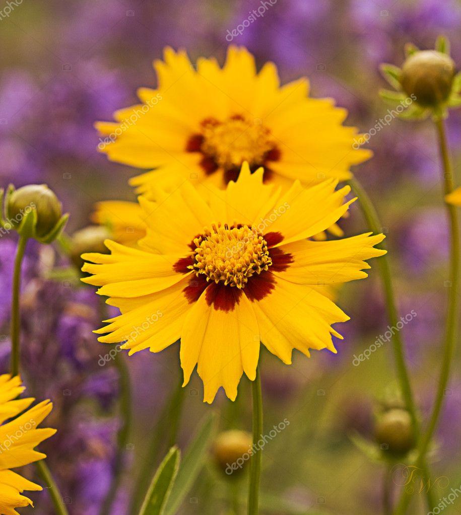 желтые цветы в саду
