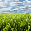 Landscape - green grass and puffy clouds — Stock Photo