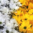 Yellow and white flowers — Stock Photo