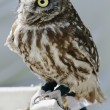Little owlet sitting on a perch - Stock Photo
