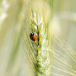 Stock Photo: Wheat ear