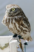 Little owlet sitting on a perch — Stock Photo
