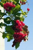 Red viburnum — Stock Photo