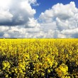 Flowering field of rape (colza field) - Stock Photo
