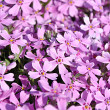 Stock Photo: Phlox soddy