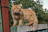 červená kočka na plot — Stock fotografie