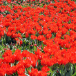 Red tulips in Kyiv — Stock Photo #11344575