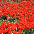 Red tulips in Kyiv — Stock Photo