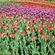 Tulips in Kyiv — Stock Photo #11344576
