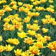 Yellow tulips in Kyiv — Stock Photo #11344577