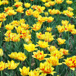 Yellow tulips in Kyiv — Stock Photo