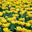 Yellow tulips in Kyiv — Stock Photo #11344580