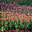 Different colored tulips in Kyiv — Stock Photo #11344586