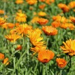 Calendula,  medicinal plant — Stock Photo