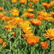 Calendula, medicinal plant — Stock Photo #11531075
