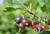 Red gooseberry — Stock Photo