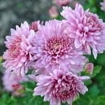 Pink Chrysanthemum flowers — Stock Photo #11865870