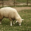 Wooly sheep - Stock Photo