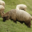 Wooly sheeps - Stock Photo