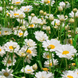 Sunny daisy meadow — Stock Photo