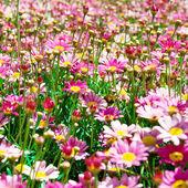 Flores rosas — Foto de Stock