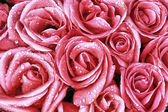 Pink roses closeup with water drops — Stock Photo