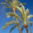 Stock Photo: Palm trees on blue sky