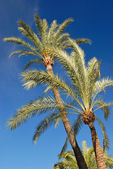 Palm trees on blue sky — Stock Photo