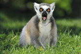 Surprised ringtailed lemur gasping — Stock Photo